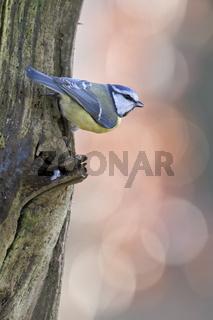 klein und quierlig... Blaumeise * Cyanistes caeruleus * sichert die Umgebung