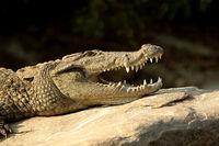 Marsh crocodile, Crocodylus palustris, Ranganathittu Bird Sanctuary, Karnataka, India