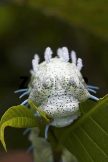 Atlas Moth Caterpillar close -up. Sanjay Gandhi National Park, Maharashtra