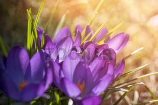 springtime, crocuses in a bath of sunlight