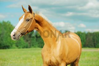 portrait of  beautiful purebred akhalteke mare