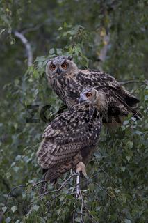 zusammen in der Birke... Europäische Uhus *Bubo bubo* sitzen im Baum