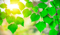 Beautiful green leaves and sun