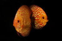 Portrait of aquarium discus fishes fish (Symphysodon) isolated on black backround