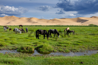 Horses eating grass in Gobi Desert
