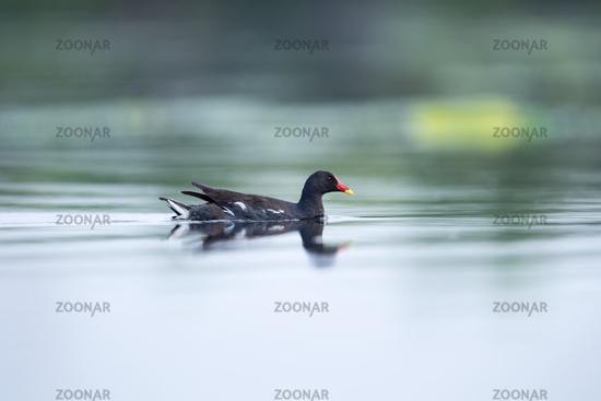 moorhen on lake