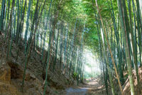 bamboo forest and dramatic light