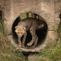 Cheetah cub turning round in concrete pipe