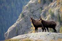 Gämsen im Nationalpark Mercantour
