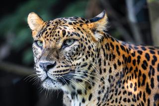 Sri Lanka Ceylon Leopard, Panthera pardus kotiya