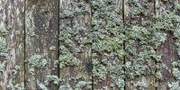 Flechten auf verwitterten Holzbrettern