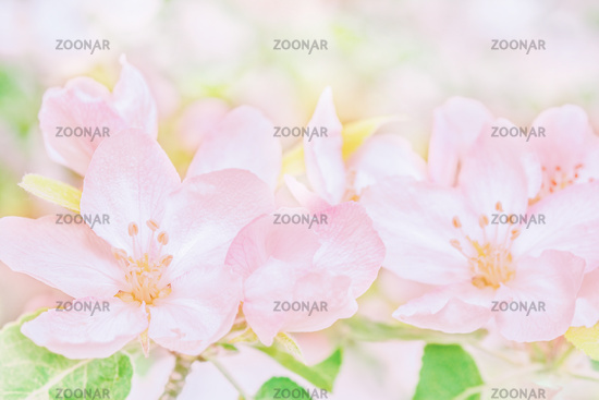 Blooming apple tree flowers, dreamy sunny background. Soft focus. Greeting gift card template. Pastel pink toned image.Spring delicate nature. Copy space