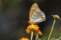Kaisermantel, Flügelunterseite