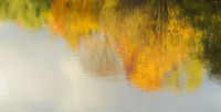 Reflection of autumn yellowed wood in water.Beauty of Autumn.
