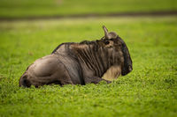 White-bearded wildebeest lying down on grassy plain