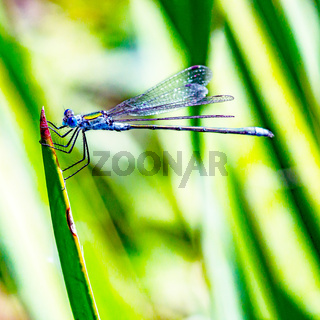 Dragonfly hangs on the blade of grass