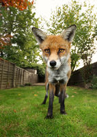 Red fox standing on the green grass in the garden