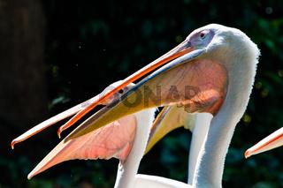 Great Whtie Pelican