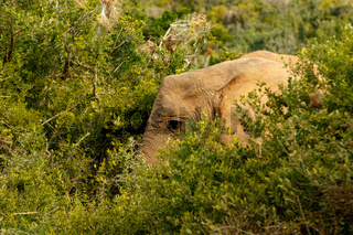 Elephant hiding between all the bushes
