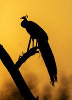 Peacock silhoutte, Bharatpur, Rajasthan, India
