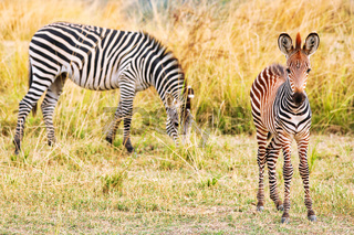 Steppenzebras mit Jungtier, South Luangwa Nationalpark, Sambia, (Equus quagga) | Plains Zebras with a young one, South Luangwa National Park, Zambia, (Equus quagga)
