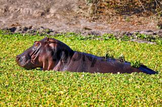 Hippo im Wasser im South Luangwa Nationalpark, Sambia, (Hippopotamus amphibius) |  Hippo in the water at South Luangwa National Park, Zambia, (Hippopotamus amphibius)