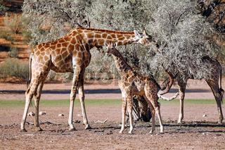 Giraffen, Kgalagadi-Transfrontier-Nationalpark, Südafrika, (Giraffa)   Giraffes, Kgalagadi Transfrontier National Park, South Africa, (Giraffa)