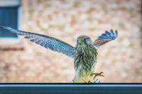 Falke am Fenster