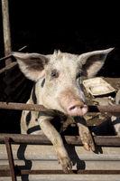 Hausschwein schaut aus seinem Stall heraus