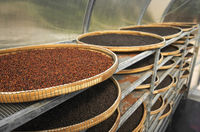 Red or brown peppercorns drying in drying room or box on plates of reed on black pepper plantation. Drying of red peppercorns. Agriculture. Spices.