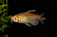 Portrait of aquarium fish - Congo tetra (Phenacogrammus interruptus) isolated on black background