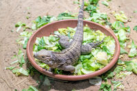 Cuban ground iguana - Cyclura nubila in a bowl of fresh leaves.