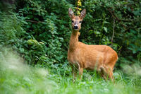 Female of roe deer with big ears standing concentrated on the grassy meadow