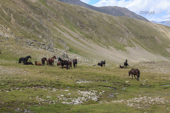 Panorama view of horses in mountains of national park Dombay