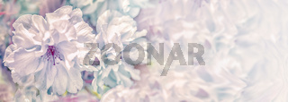Beautiful sakura flower cherry blossom panorama background. Soft focus. Greeting gift card template. Pastel vintage toned image. Nature panoramic abstract. Copy space. Shallow depth