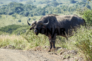 Kaffernbüffel - Syncerus Caffer auf einer Strasse