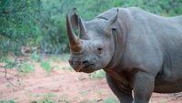 schwarzes Nashorn im afrikanischen Busch