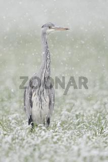 Schneeflöckchen, Weißröckchen... Graureiher *Ardea cinerea* im Winter bei Schneefall