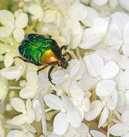 Rose chafer bug in a flower blossom
