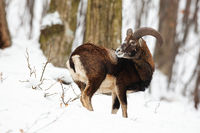 Male mouflon, ovis musimon, standing in winter forest with snow