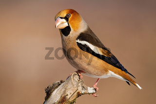 Side view of garden bird hawfinch sitting on branch in winter with copy space
