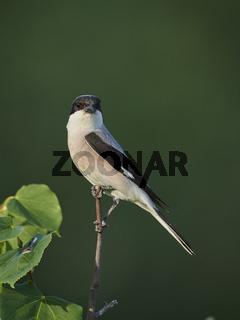 lesser grey shrike, Lanius minor, schwarzstirnwuerger