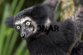Indri indri (Indriidae Familie), Ankanin Ny Nofy, Madagaskar