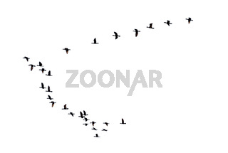 Silhouette flock of birds flying in a row
