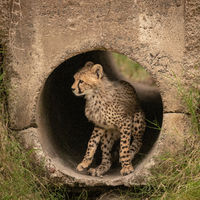 Cheetah cub sits in pipe looking left