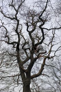 alte Stieleiche... Eiche *Quercus robur*, auch Deutsche Eiche genannt