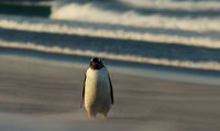 Gentoo penguin walking on a sandy coast