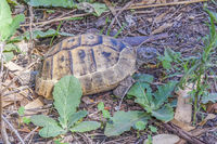 Wild Tortoise (Testudinidae), Side, Turkey