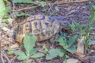 Wild Tortoise (Testudinidae), Side, Turkey