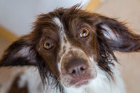 Cute little springer spaniel looking up into the camera with wide eyes